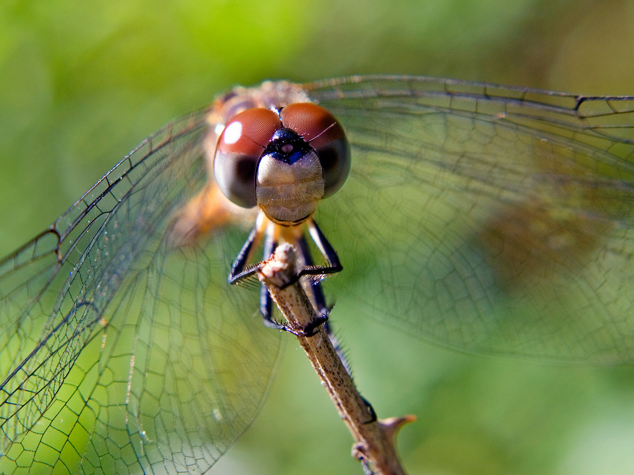 May 28 - Blue Dasher