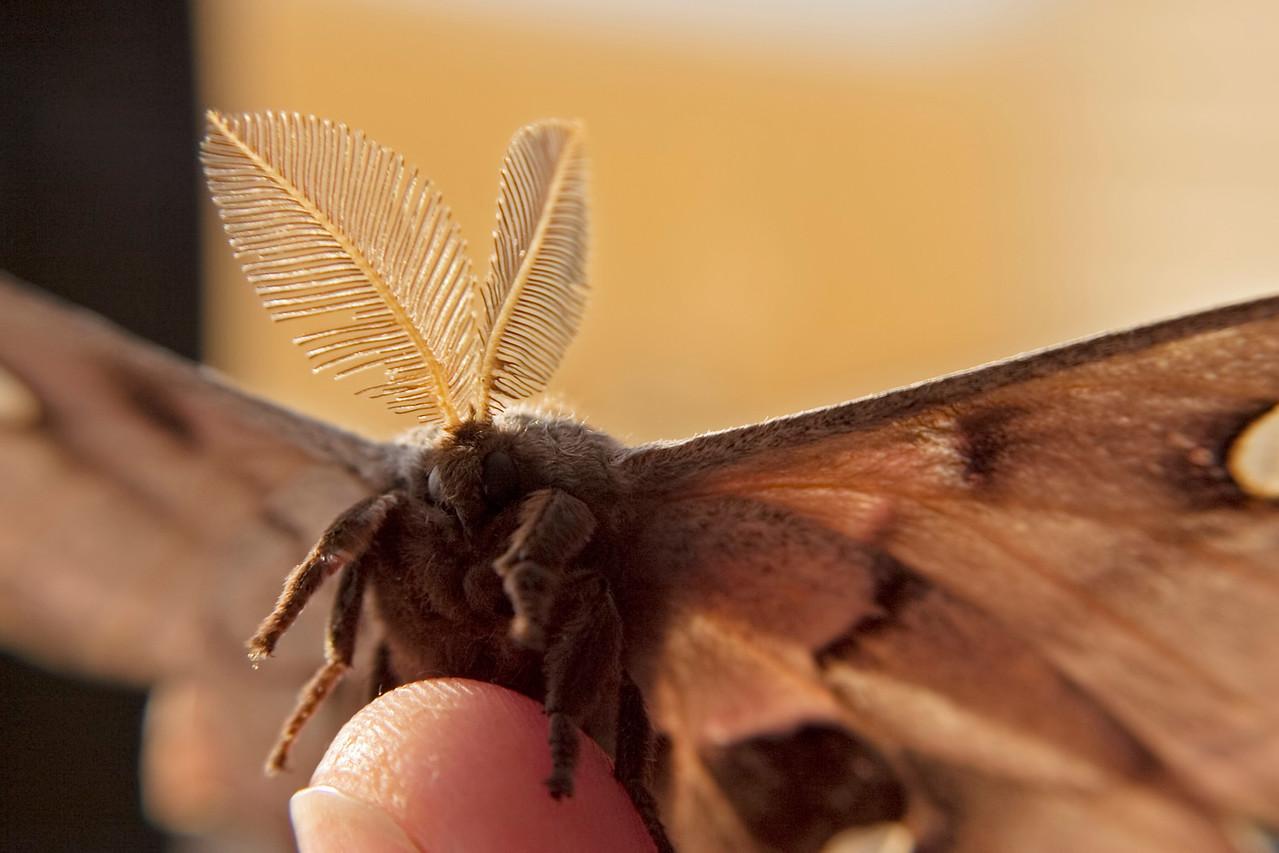April 30 - Polyphemus Moth
