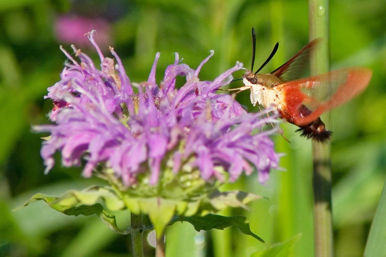 June 25 - Hummingbird Moth