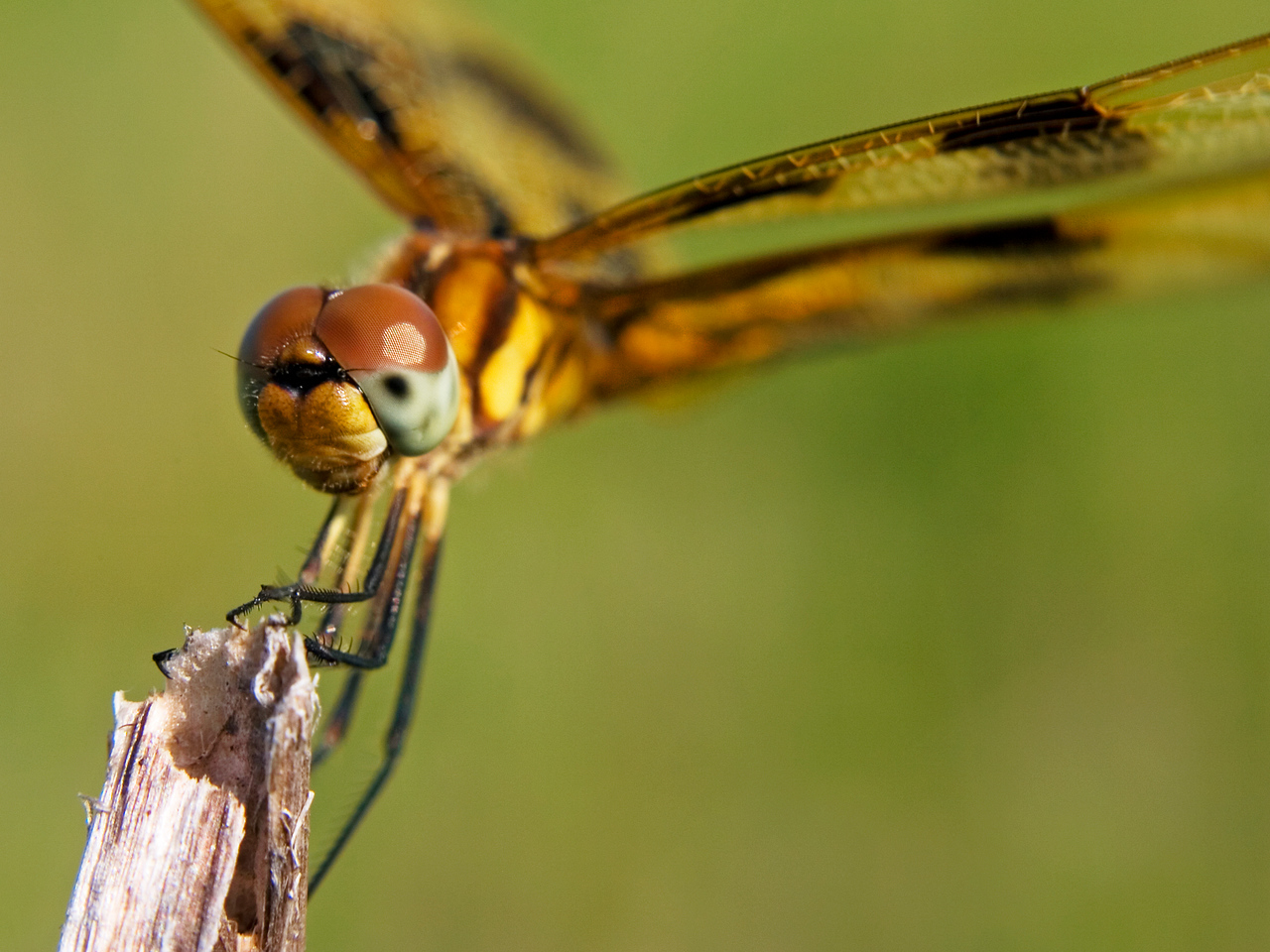 July 27 - Painted Skimmer