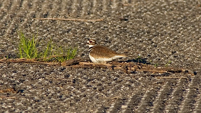 May 4 - Killdeer at lake Shelbyville