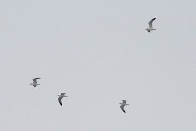 January 12 - Gulls