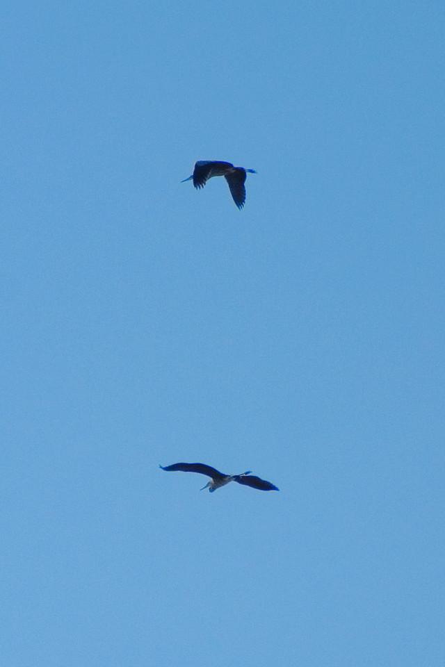 June 29 - Blue Herons