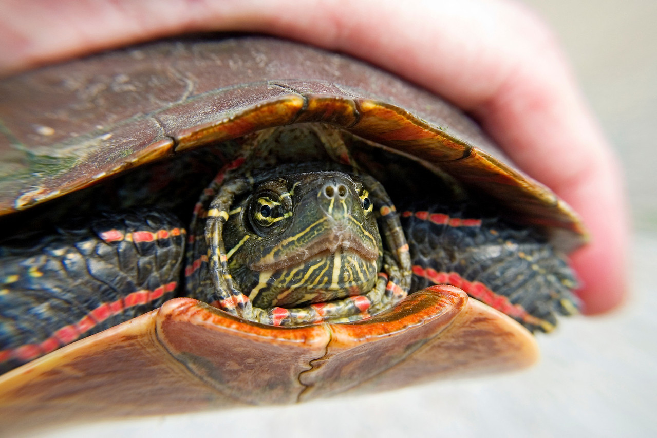 July 6 - Painted Turtle