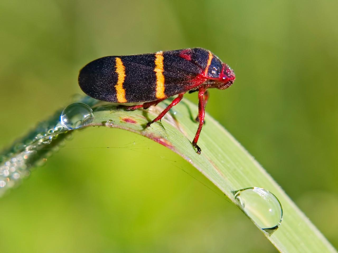 July 19 - Leaf Hopper