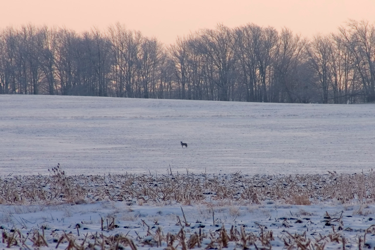 December 28 - Distant Coyote, W Macon County Illinois
