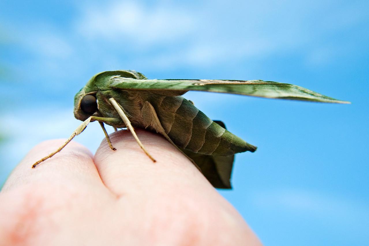 July 5 - Sphinx Moth