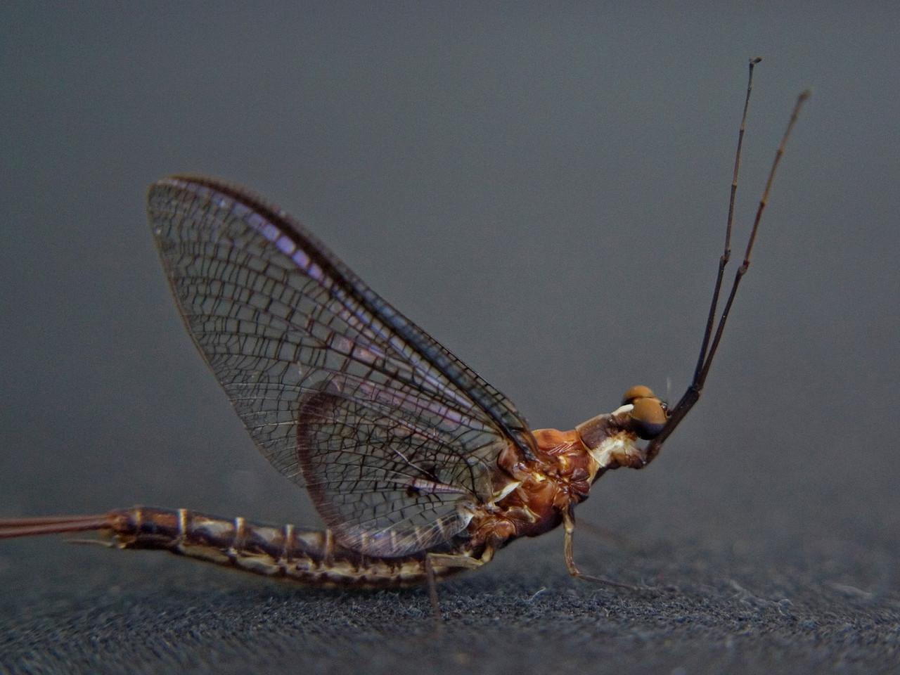 July 3 - Mayfly