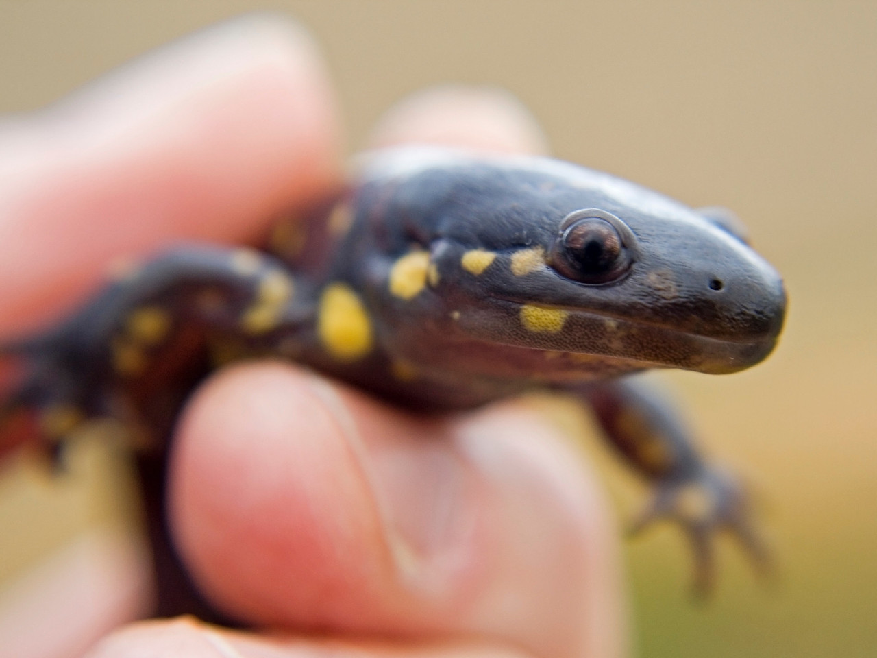 October 26 - Tiger Salamander