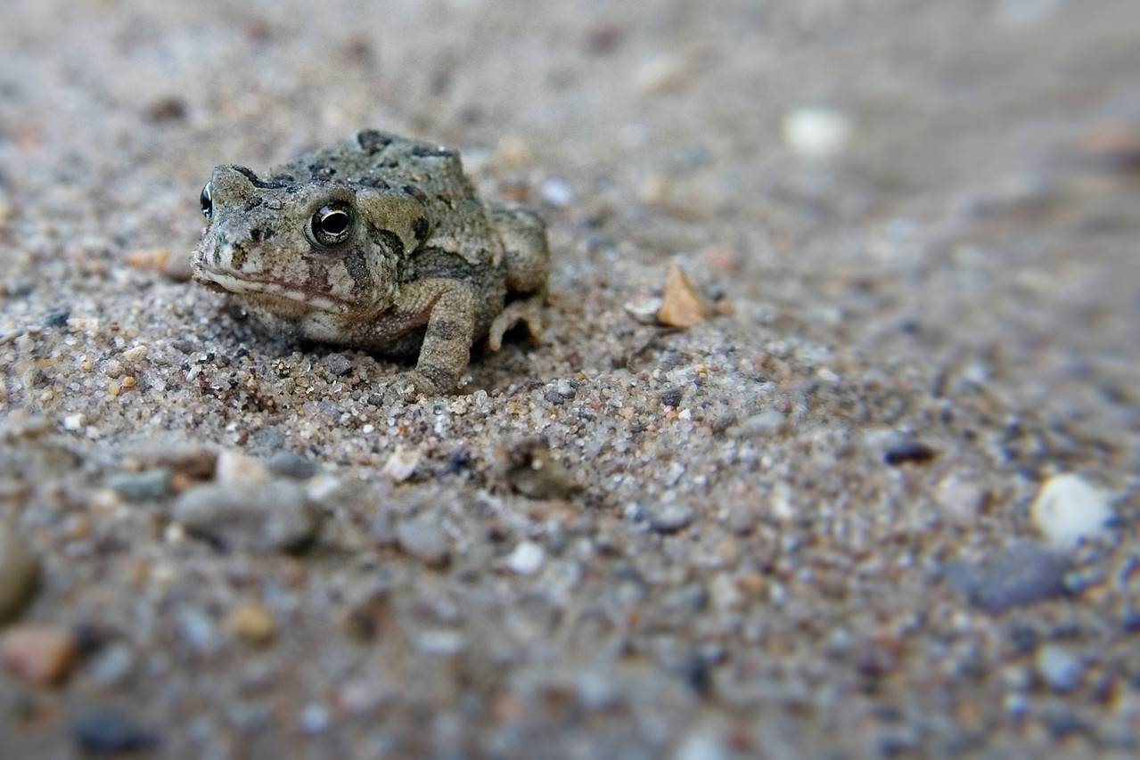 August 1 - American Toad