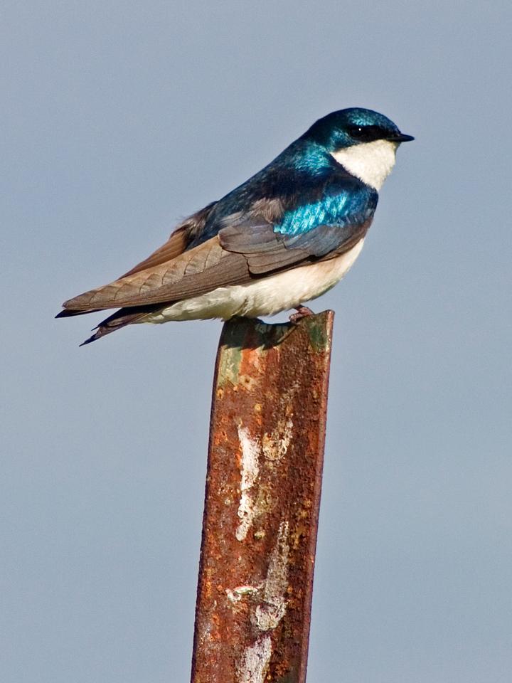 May 18 - Tree Swallow