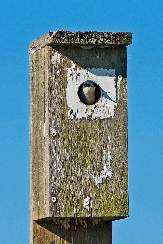 June 25 - Tree Swallow