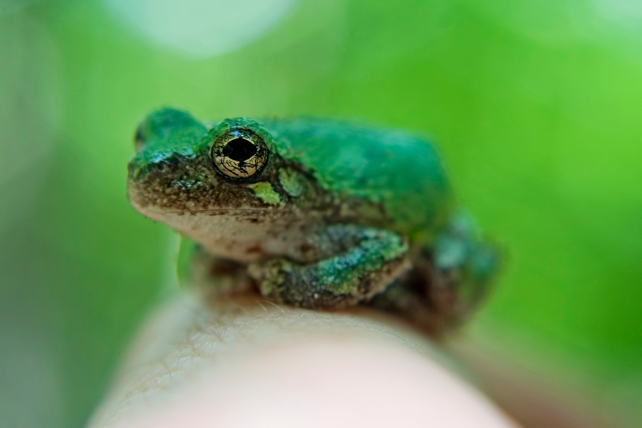 "June 1 - Ramsey Lake State Forest, Fayette County IL (""not very"" grey tree frog)"