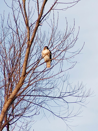 January 9 - Red Tail Hawk