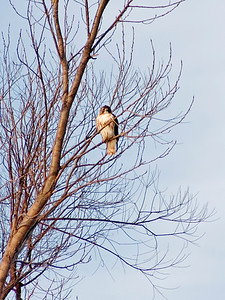 January 9 - Red Tail Hawk