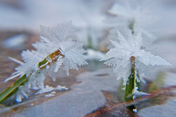 January 9 - Frost crystals growing on blades of grass.