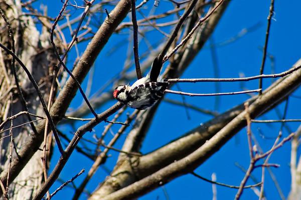 January 9 - Woodpecker