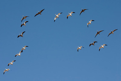 February 17 - Snow Geese at Rock Springs Environmental Center