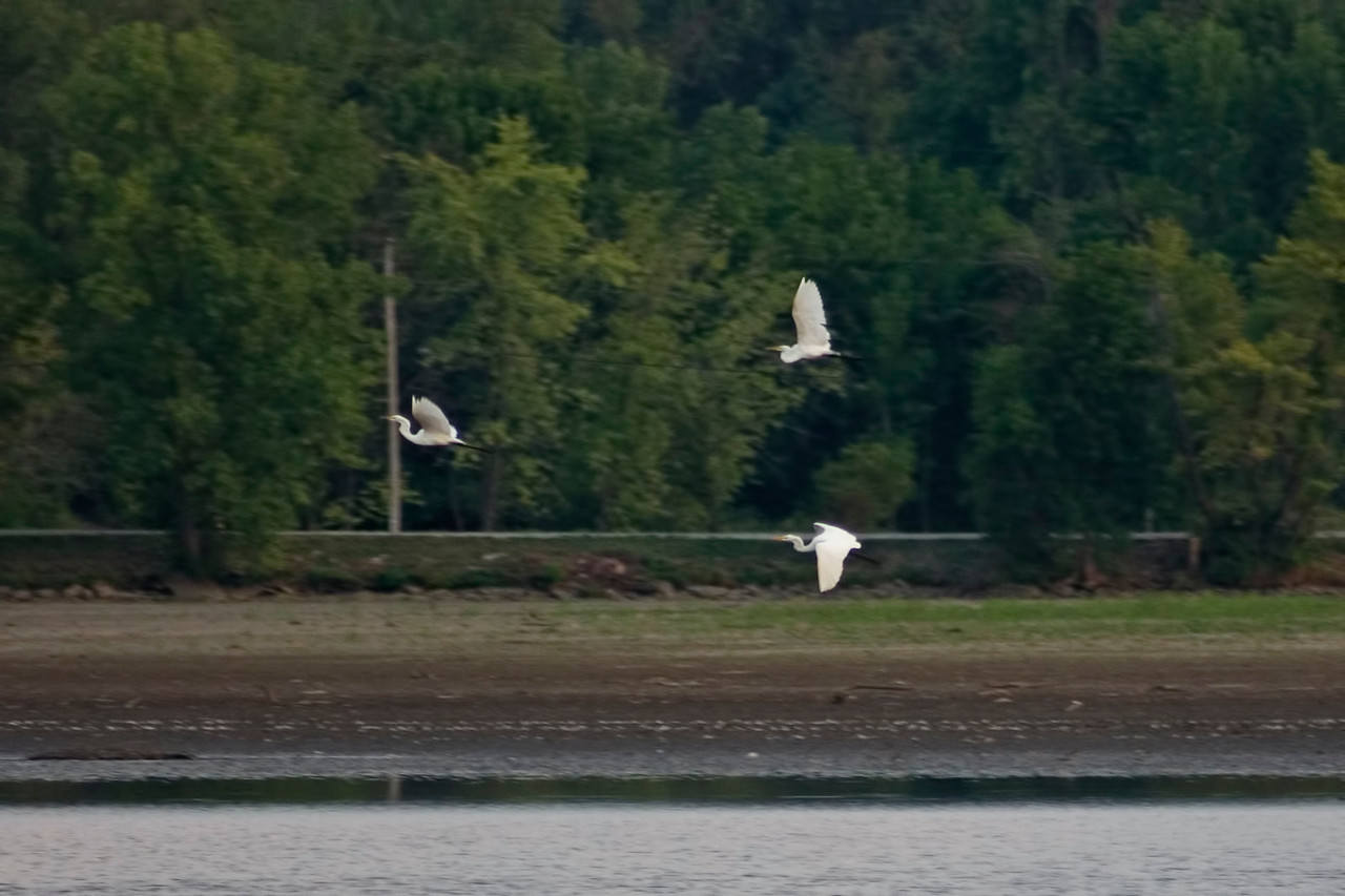 August 25 - White Egrets on Lake Decatur, Decatur IL