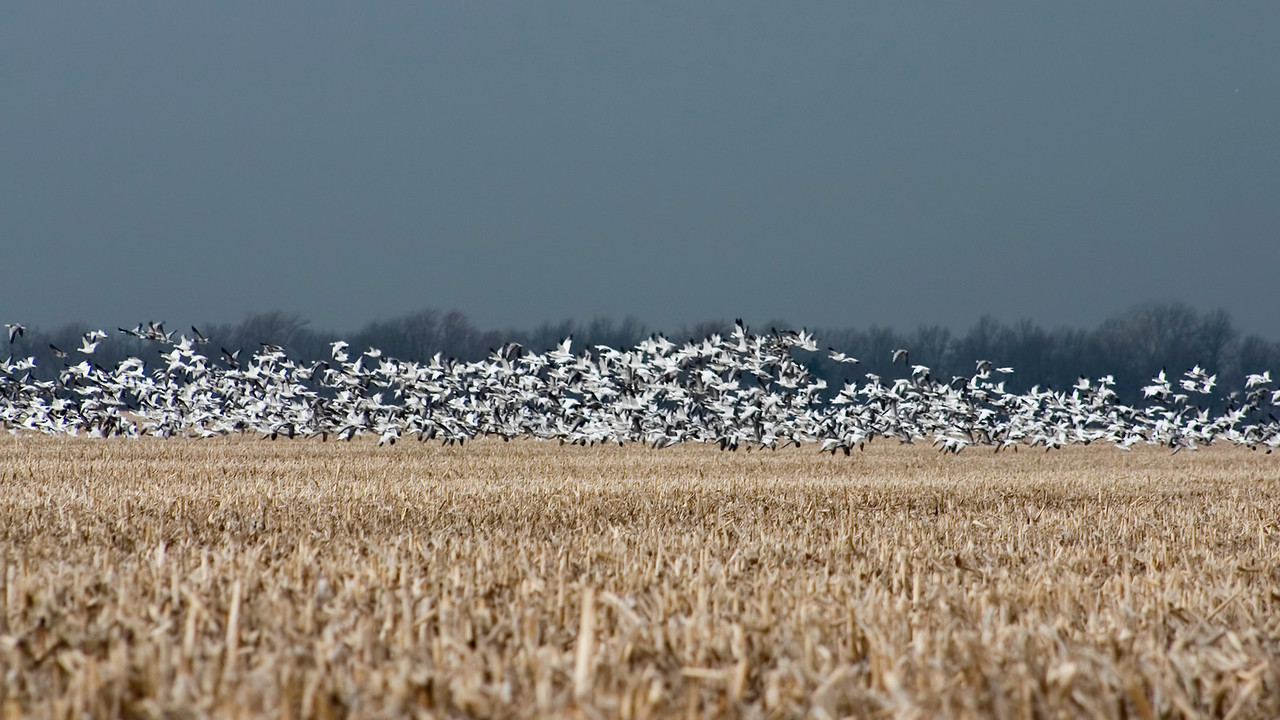 March 2 - Snow Geese vs. Severe Thunderstorm, Marion County Illinois