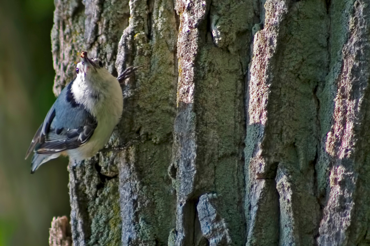 June 2 - Nuthatch, Weldon Springs, Clinton Illinois