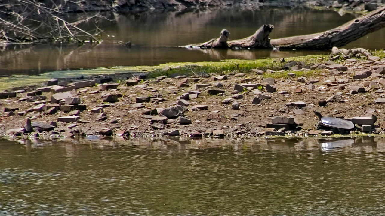 April 19 - Softshell Turtles on the Sangamon River, Decatur IL