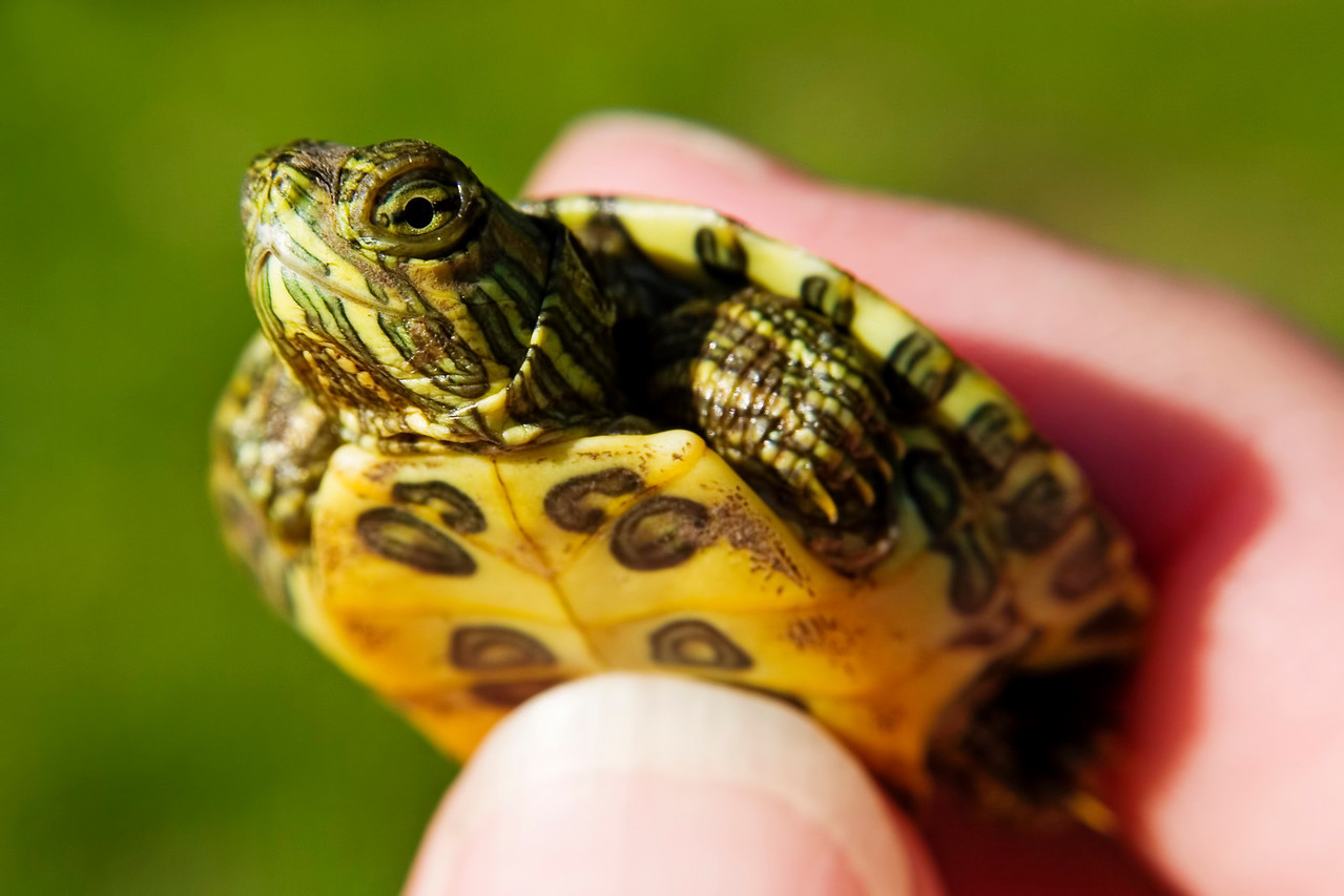 April 18 - Juvenile Red Eared Slider, Illinois