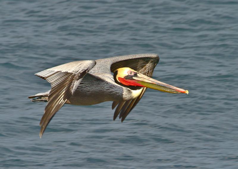 pelican_6093