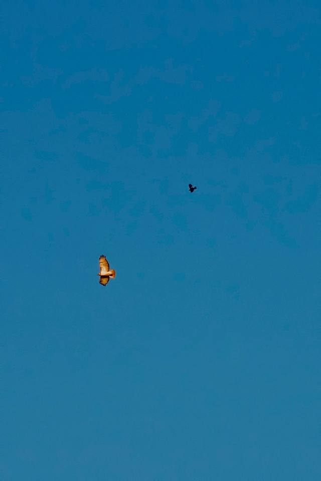 June 25 - Red Tailed Hawk vs. Red Winged Blackbird, Decatur IL