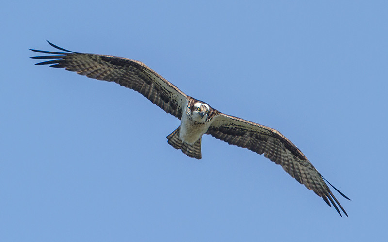 osprey_2724