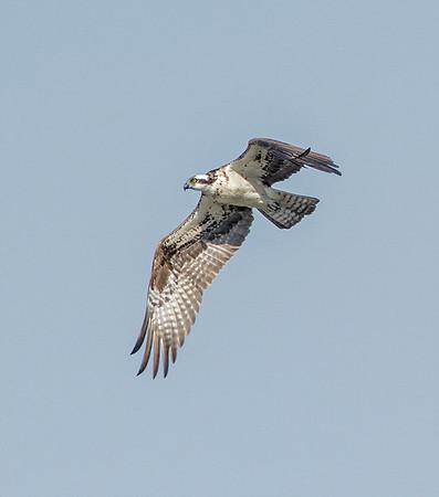 osprey_2770