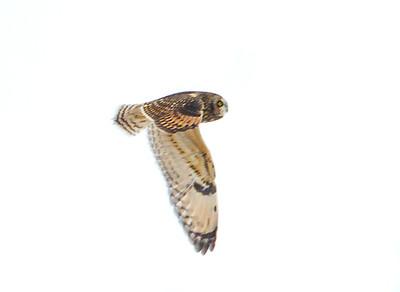 owl_4241