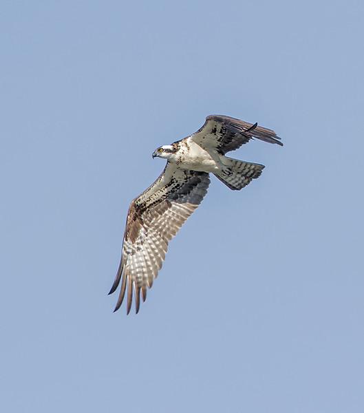 osprey2_2770