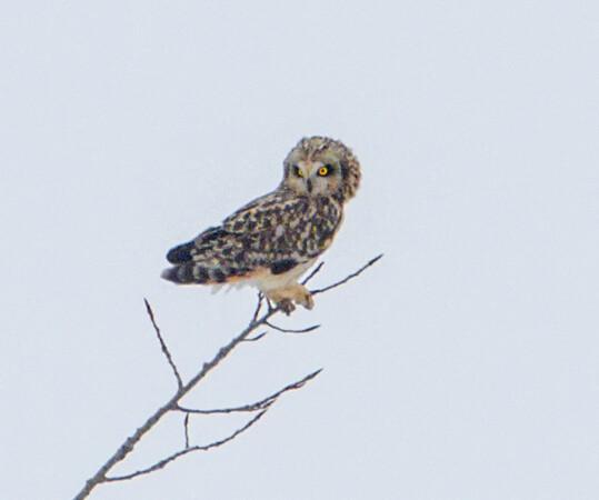 owl_4274