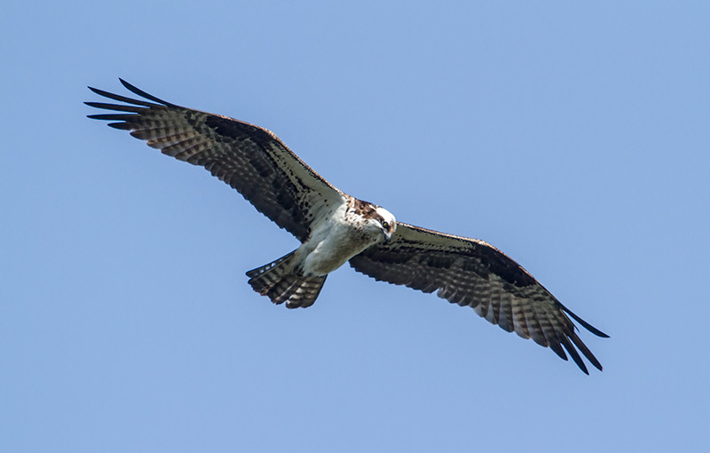 osprey_2734