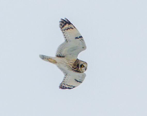 owl_4258