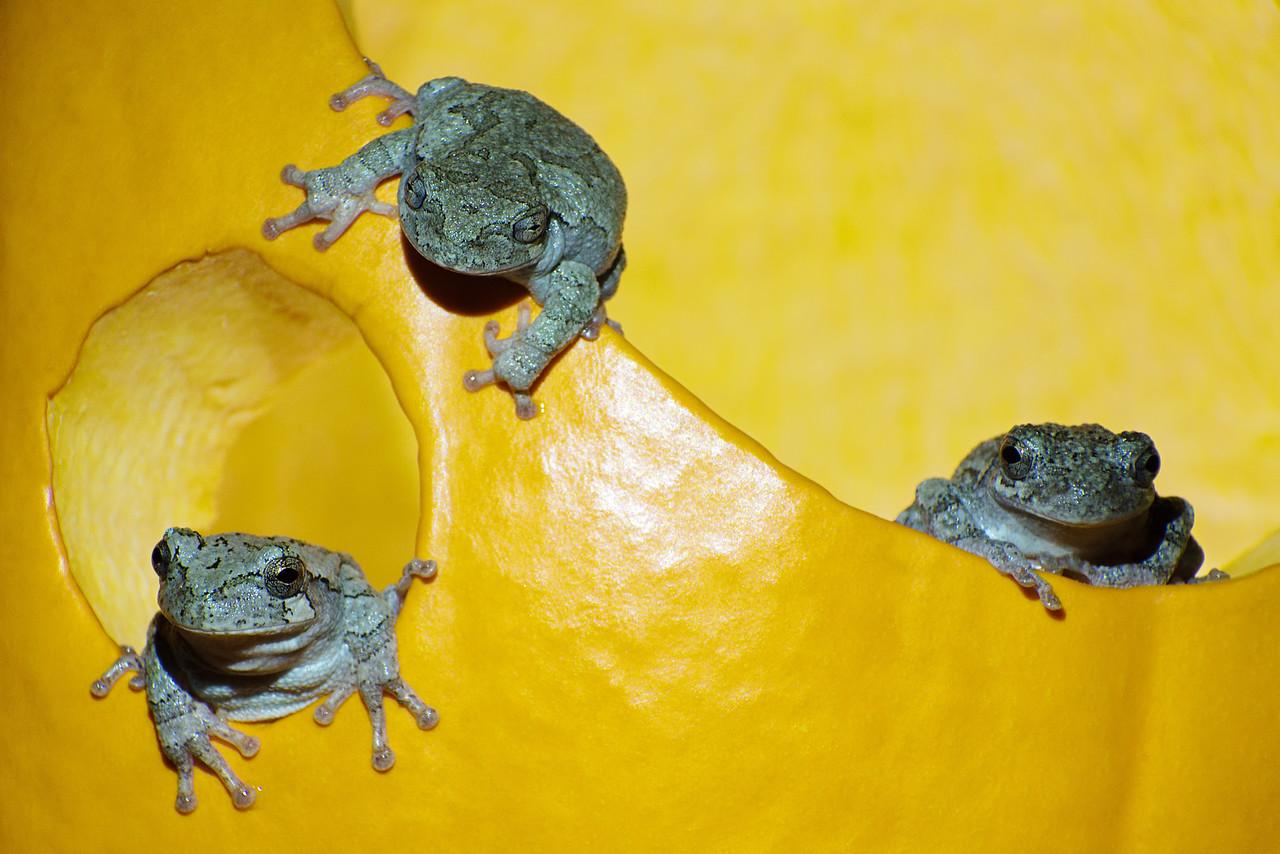 November 3, 2015 - Grey Tree Frogs vs. Jack-O-Lantern