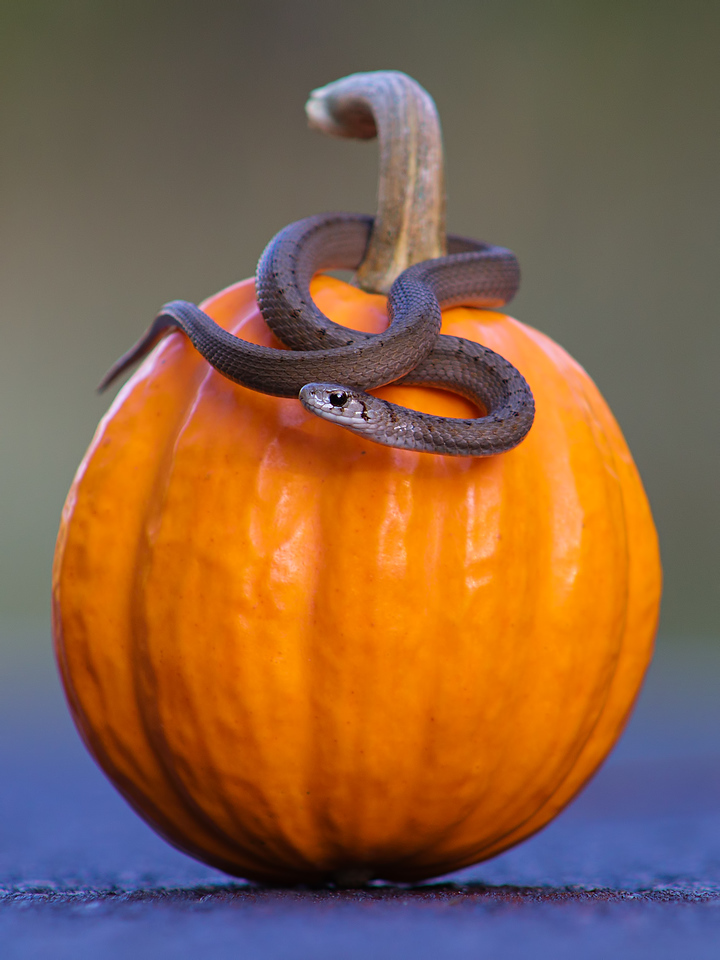 October 21, 2015 - Juvenile Brown Snake vs. Mini Pumpkin