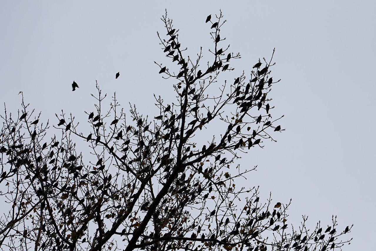 October 28, 2015 - Starlings