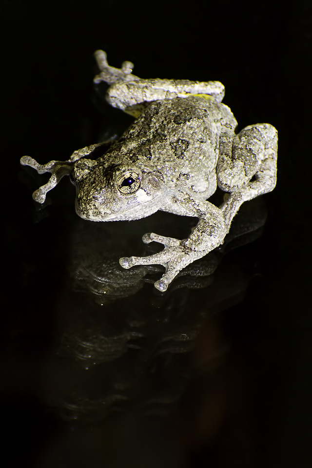 August 29, 2015 - Grey Tree Frog vs. Insulated Glass