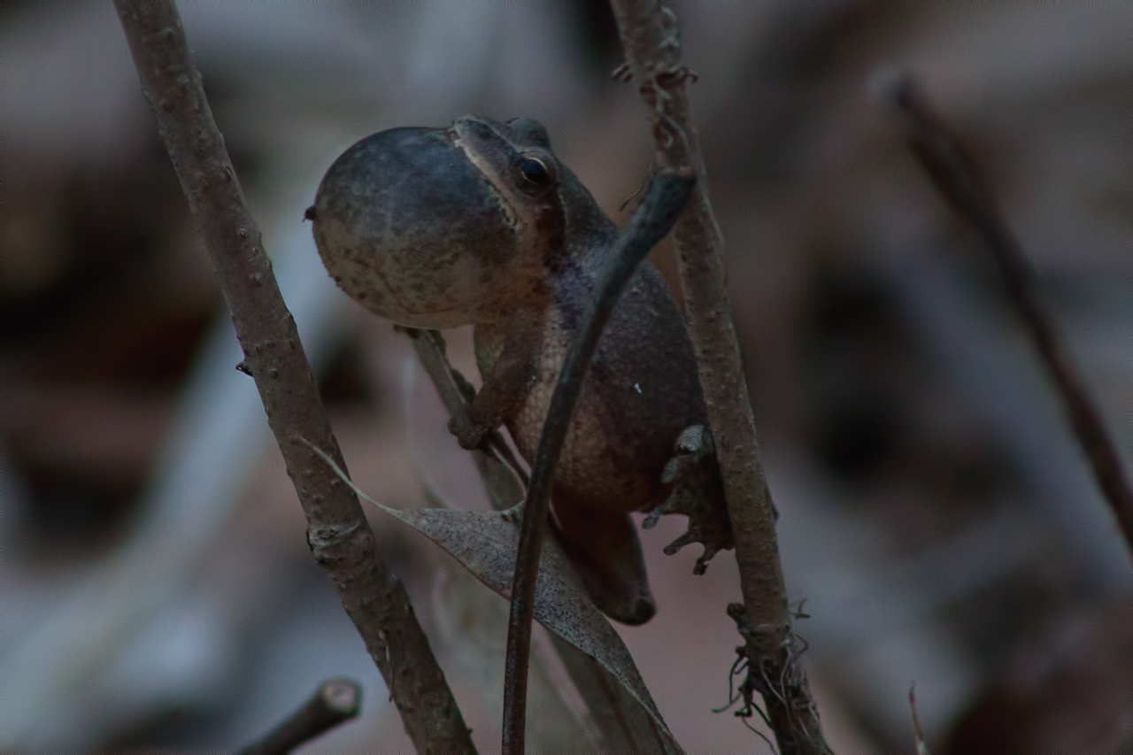 Now at Ramsey Lake State Park, Fayette County IL (spring peeper)