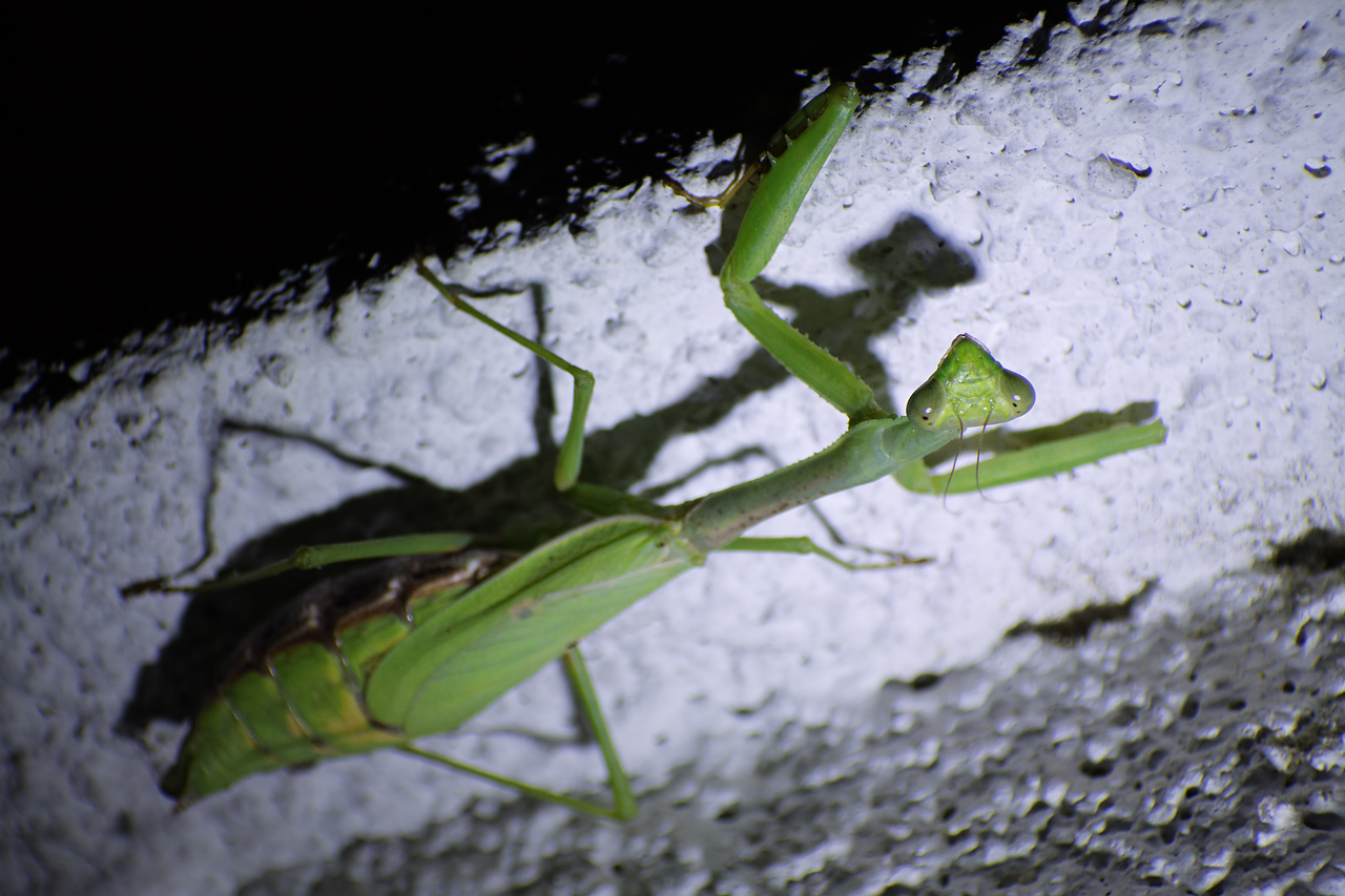 October 4, 2015 - Sub-adult Mantis