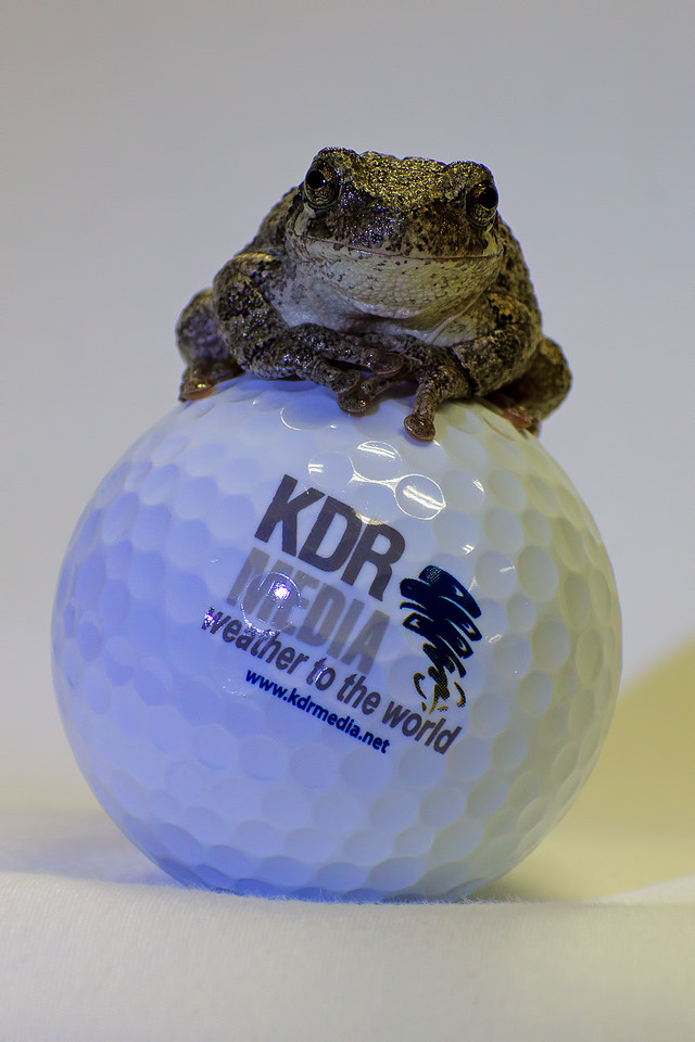 October 20, 2015 - Grey Tree Frog vs. Golf Ball