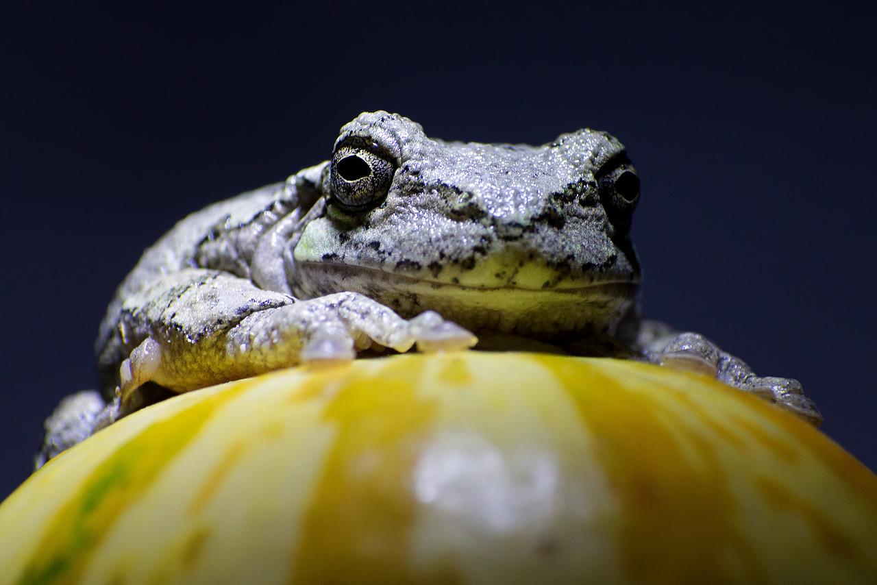 October 30, 2015 - Grey Tree Frog vs. Mini Pumpkin