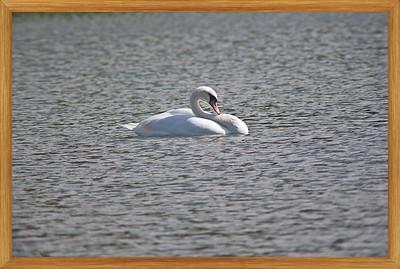 IMG_3133-swan alone