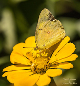clouded sulphur_TN27835