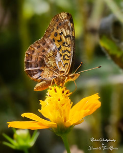 meadow fritillary_TN26513