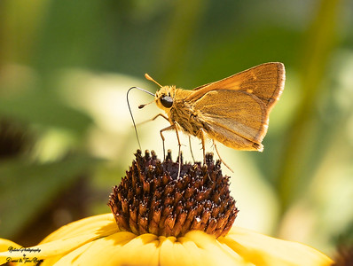 Tawny Edged skipper_TN25862