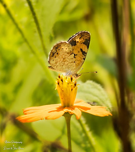 pearl crescent_TN26556