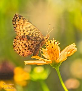meadow fritillary_TN26468 sig sunburst